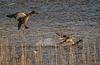 canards colverts - femelle et mâle