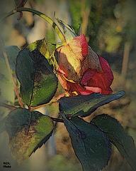 Toujours belle...elle restera........................................... la Rose