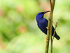 Purple Honeycreeper, Trinidad