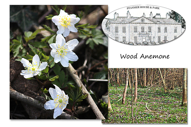 Wood Anemones at Stanmer Park - 1.4.2016