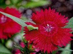 Carnation.  5036819
