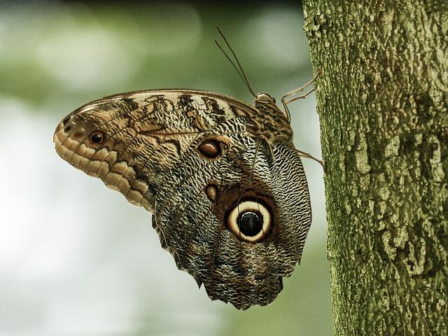 Owl butterfly / Caligo sp.