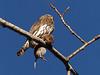 Northern Pygmy-owl, one year ago