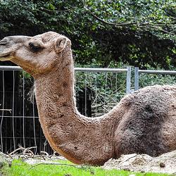 20190907 5869CPw [D~HRO] Dromedar, Zoo, Rostock