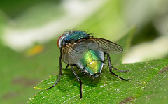 Greenbottle,Blow Fly. Lucilia Caesar