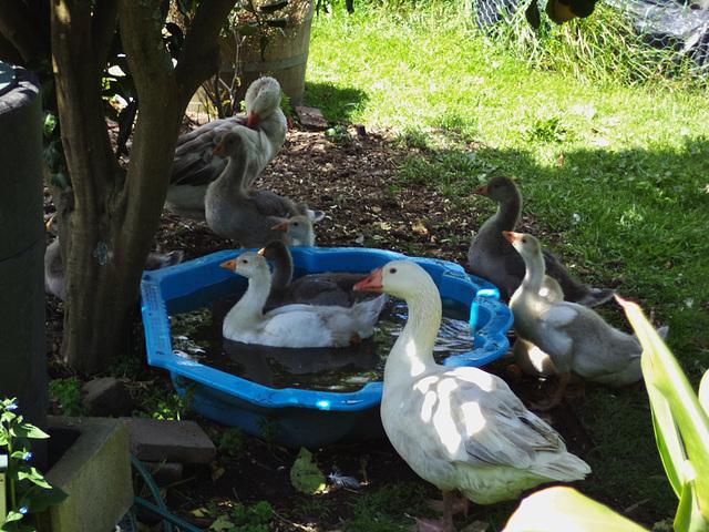 Pilgrim goose family at the pool