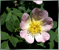 Hecken-Rose (Rosa corymbifera). ©UdoSm