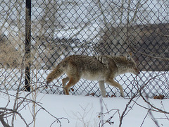 One of two Coyotes