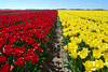 The Netherlands - tulips