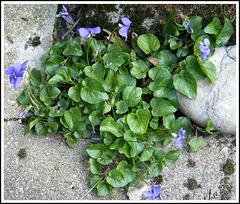 ** Violettes de mon jardin **