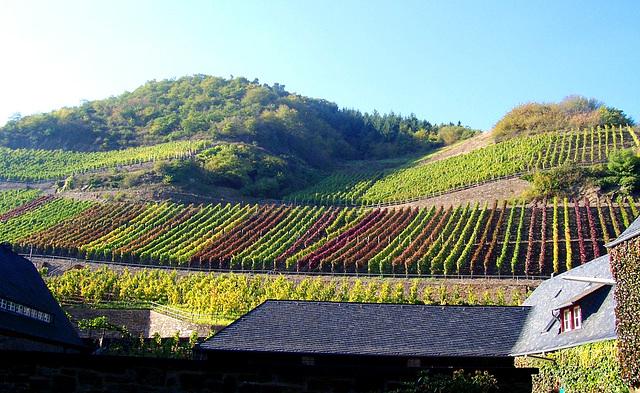 DE - Marienthal - Vineyards