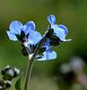 Blue  Needle