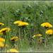 Pissenlits soleils (2)
