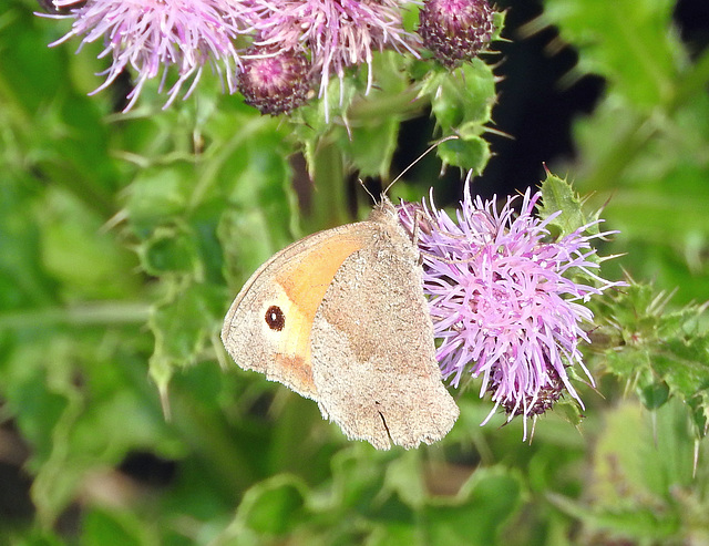 Gatekeeper with underwing 0n show