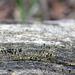 Calicioid Fungus