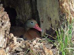 tree duck