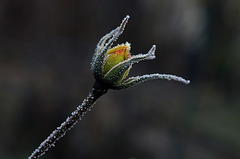 Gelée blanche sur une rose jaune