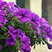 fleurs à St Genis Les Fontaines