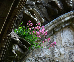 Tintern Abbey- Old Stones and Red Campion