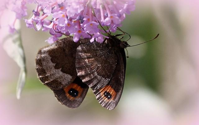 fil(et) à papillons - Page 11 43151250.a05ea628.640