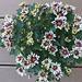 Sommerblumen (1)
