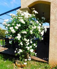 Le rosier blanc chez Damien**********