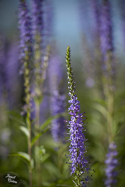 213/366: Veronica Speedwell: Purple Spiked Beauties