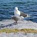 Norway, Lofoten Islands, Seagull and Her Chick