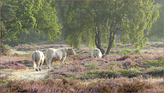 Three of the white Ones walking through the Heather...