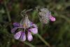 Silene colorata, Caryophyllales