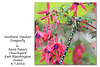Southern Hawker dragonfly on a fuschia in St Peter's Churchyard - 8.7.2016