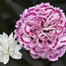 1 ½ carnations