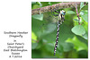 Southern Hawker dragonfly in St Peter's Churchyard - 8.7.2016