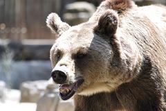 Griza urso