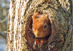 Eichhörnchen in einer Spechthöhle