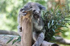 Koalo