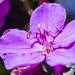 Flowering tibouchina