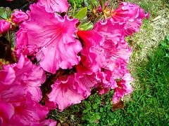 Colourful Azalea