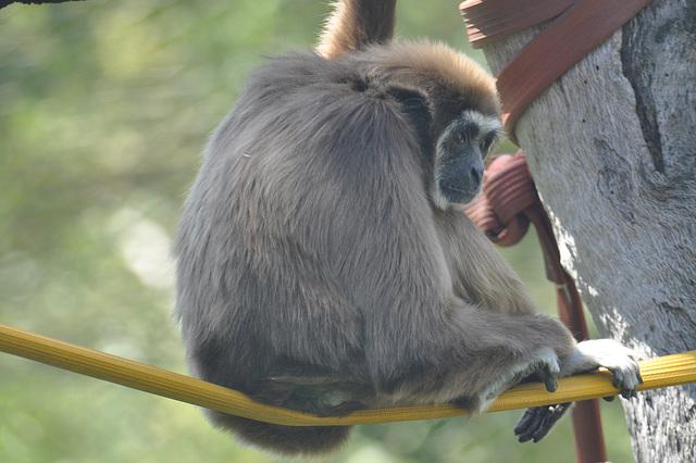 Orangutano