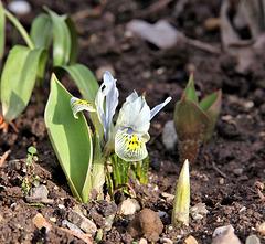 kleine Tiger-Iris - ein Gruß aus meinem Garten...