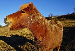 Freiland-Pony  -  Free-range Pony