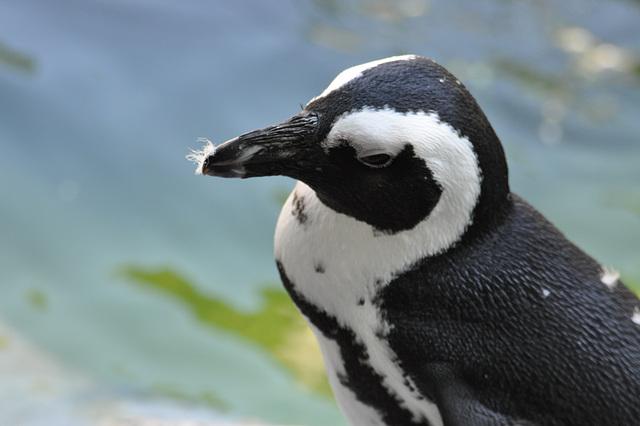 Pingveno