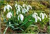Frühlingsboten... Spring Messengers...  ©UdoSm