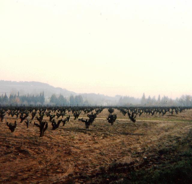 Champ de vignes / Field of vines