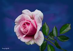 Rosa sobre azul noche