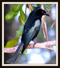 Male Spangled Drongo