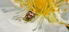 Varied Carpet Beetle. Anthrenus verbasci