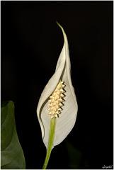 Spathiphyllum ...