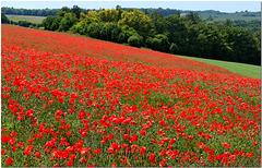 Hertfordshire Poppies