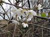Prunus avium.  Wild cherry blossom.